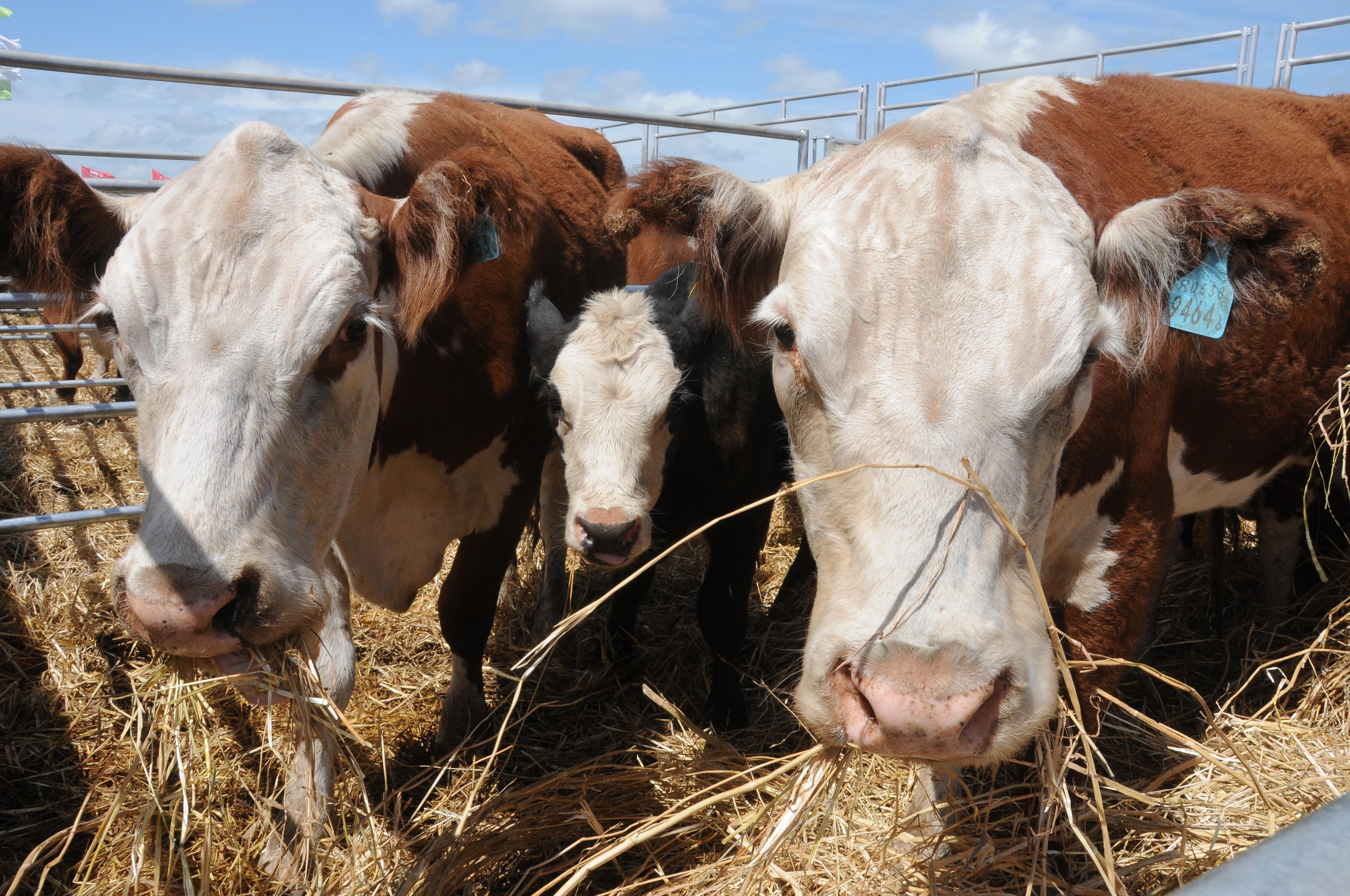 Lanzan tres nuevos cursos de capacitación virtual en ganadería