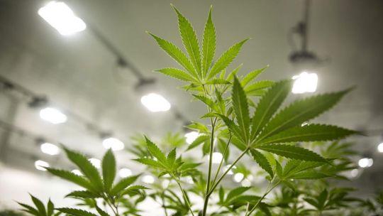 uruguay-quiere-abrir-el-mercado-del-cannabis-a-los-turistas